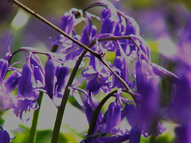 bluebells-clipped